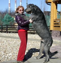 вопрос относится английский волкодав собака фото днём
