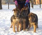 Продаются немецкой овчарки щенки, кобели, очень яркого чепрачного окраса...