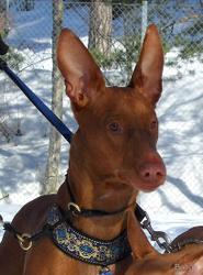фараонова собака щенки на продажу (pharaoh hound puppies for sale)