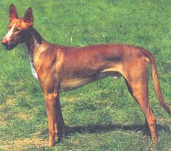 Отзывы о породе фараонова собака