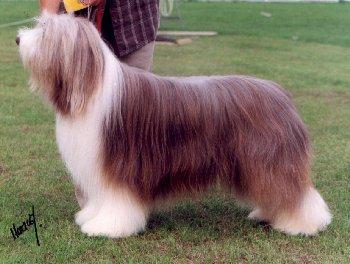 породы собак средних размеров для квартиры фото