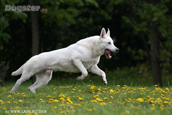3 года.  Биография. мой папа немецкая овчарка, мама белая волчица.