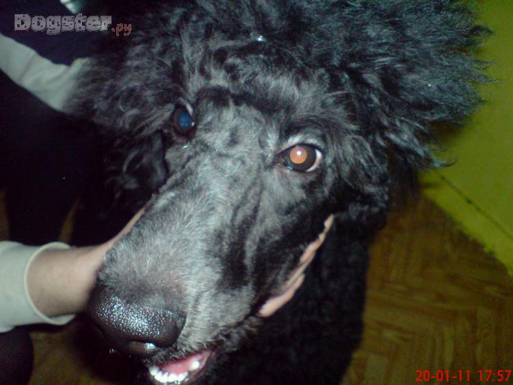 порода собак ламборджини диабло