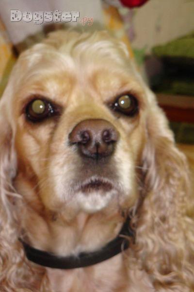 Имена для собак девочек кокер спаниель