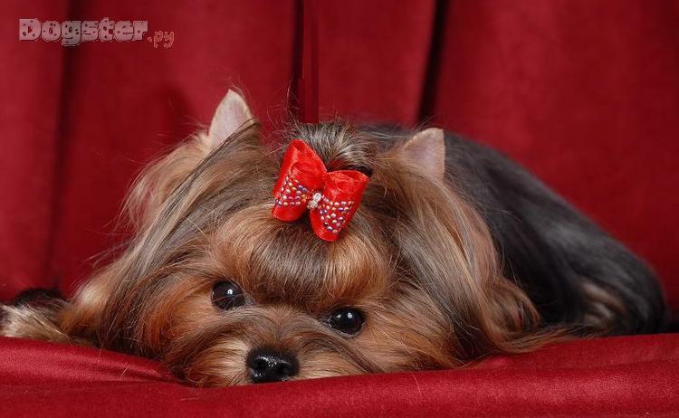 Порода собак с прической